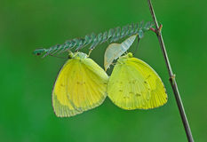 Yellow butterfly mating. Beautiful yellow butterfly mating on leafs stock image