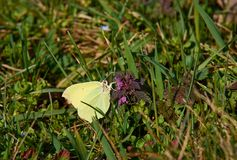 Yellow butterfly on nettle flower in green grass. Bright and sunny day royalty free stock photos