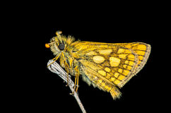 Yellow butterfly at night Royalty Free Stock Image