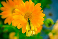 Yellow butterfly on orange flower. Macro close-up shot Royalty Free Stock Photo