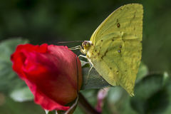 Yellow butterfly on an orange rose. On the green background of the garden Stock Photos