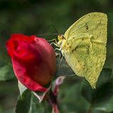 Yellow butterfly on an orange rose. On the green background of the garden Stock Photography