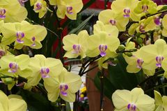 Yellow Butterfly orchid royalty free stock photography