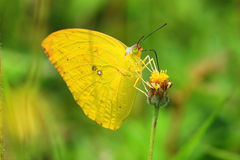 Yellow butterfly. The Yellow butterfly in park stock image