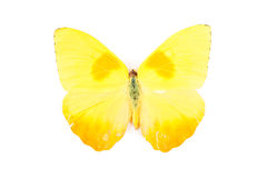 Yellow butterfly Phoebis philea Stock Image