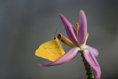 Yellow Butterfly (Phoebis Philea) Stock Image