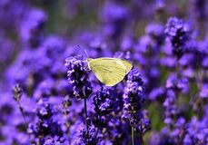 Yellow butterfly Pieris rapae on lavender flowers