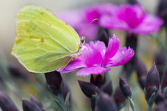 Yellow butterfly - pink carnation Royalty Free Stock Photos