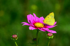 Yellow butterfly and pink Cosmos Royalty Free Stock Photo