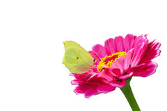 Yellow butterfly on a pink flower isolated on a white Royalty Free Stock Images