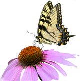 Yellow Butterfly on Pink Flower Isolated on White. Eastern Tiger Swallowtail (Papilio glaucus) feeding on the nectar of a Purple Coneflower Stock Images