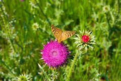 Yellow butterfly on a pink flower thistle. Top view royalty free stock photo