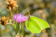 Yellow butterfly on pink innkeeper.  stock images