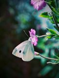 Yellow Butterfly on Purple. White Butterfly hanging on a purple flower Stock Photos