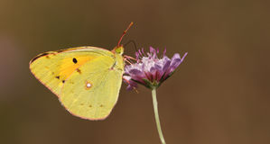 Yellow Butterfly on the purple flower Stock Photography