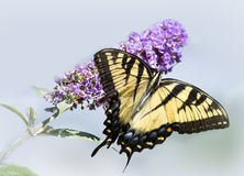 Yellow Swallowtail Butterfly on Purple Flower Isolated. Eastern Tiger Swallowtail butterfly on a branch of a butterfly bush isolated against a pale blue Royalty Free Stock Photos