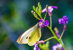 Yellow butterfly on a purple flower royalty free stock photo