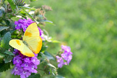 Yellow Butterfly on Purple Flowers Background. A yellow colored Orange-Barred Sulfer butterfly is sitting on a purple Heliotrope Flower framing the corner of a royalty free stock photography