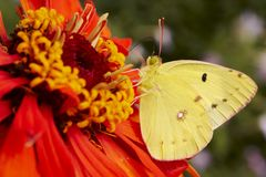 Yellow Butterfly on Red Flower. A close up of a bright yellow butterfly on a red flower in search of food Stock Photo