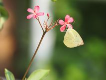 Yellow butterfly on the red flower blur nature background. Closeup yellow butterfly on the red flower blur nature background environment park stock image