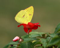 Yellow Butterfly on Red Flower. Bright yellow orange-barred butterfly with his head inside the bloom of a red impatiens flower on a green background royalty free stock image