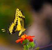 A yellow butterfly on a red flower. On a sunny day Stock Image