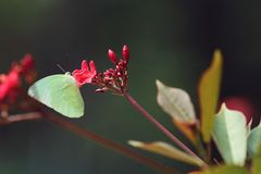 A yellow butterfly on red flower royalty free stock photos