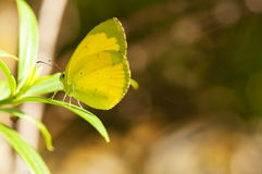 Yellow Butterfly. A yellow butterfly is resting on a leaf Royalty Free Stock Photo