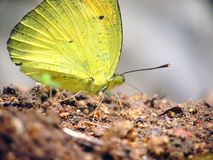 Yellow butterfly on rock Stock Photos