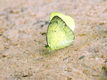 Yellow butterfly on rock Royalty Free Stock Images