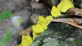 Yellow butterfly on rock in tropical rain forest. Small Grass Yellow butterfly Eurema brigitta on rock in tropical rain forest stock video footage