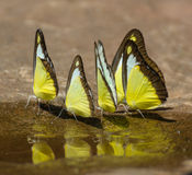Yellow Butterfly[2] Royalty Free Stock Images
