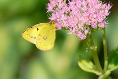 Yellow butterfly. The yellow butterfly on Sedum spectabile flowers. Scientific name: Pieris rapae royalty free stock images