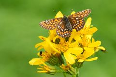 Yellow butterfly sitting on a flower. royalty free stock photos