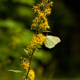 Yellow butterfly sitting on flower.(gonepteryx rhamni) Royalty Free Stock Photos