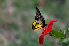 Yellow butterfly sitting on red flowers with blurry background. Yellow black and white butterfly sitting on red flowers with blurry background stock photos