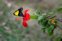 Yellow butterfly sitting on red flowers with blurry background. Yellow black and white butterfly sitting on red flowers with blurry background stock images