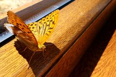 Yellow butterfly sitting on wooden window frame. Yellow butterfly with dark brown dots an lines sitting on wooden window frame Royalty Free Stock Images