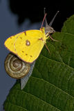 Yellow butterfly on a snail Stock Images