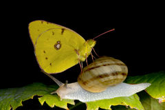 Yellow Butterfly on a snail Royalty Free Stock Image