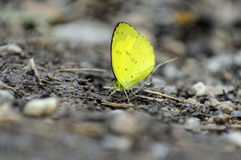 Yellow butterfly. Royalty Free Stock Images