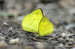 Yellow butterfly. Royalty Free Stock Image