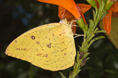 Yellow butterfly sucking nectar. Mainly day-flying insect of the order Lepidoptera, which includes the butterflies and moths.  The butterfly's life cycle Royalty Free Stock Photography
