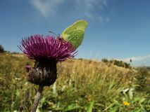 Yellow butterfly on a thistle Royalty Free Stock Images