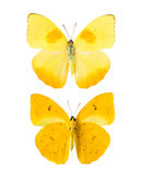 Yellow butterfly. From Tingo Maria in Peru, front and backside, Phoebis Philea Philea in Latin, orange-barred sulphur in English stock photos