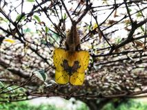 Yellow butterfly is about to leave the pupa. royalty free stock photo