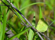 Yellow butterfly on twig Stock Photos