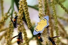 Yellow butterfly, wasp and Bees are flying swarm around the poll. En of betel palm flowering in the garden royalty free stock image