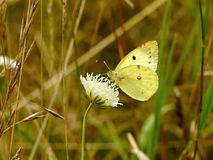 Yellow butterfly on a white flower in the grass. Yellow butterfly on a white flower in the grass on meadow Stock Image