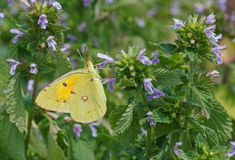 Yellow butterfly on wild flower Stock Photo
